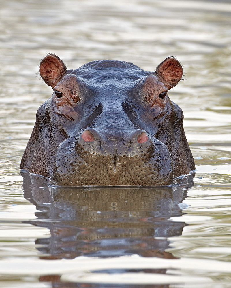 Hippopotamus (Hippopotamus amphibius), Serengeti National Park, Tanzania, East Africa, Africa - 764-2873