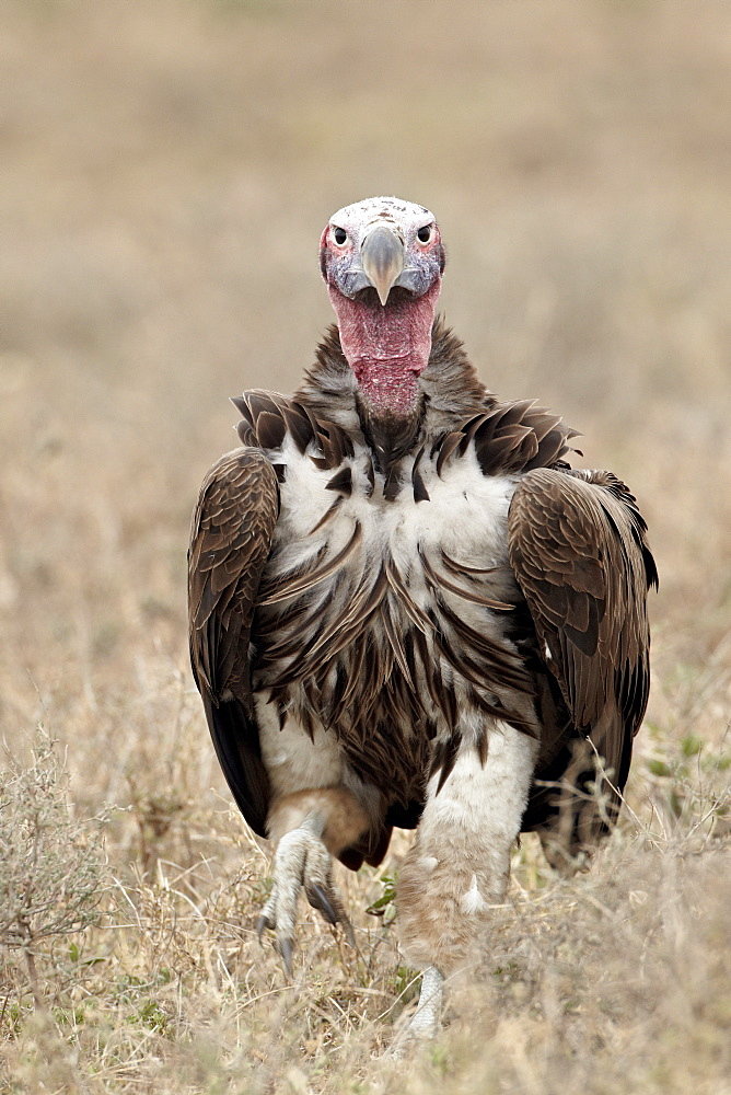 Lappet-faced vulture (Torgos tracheliotus), Serengeti National Park, Tanzania, East Africa, Africa