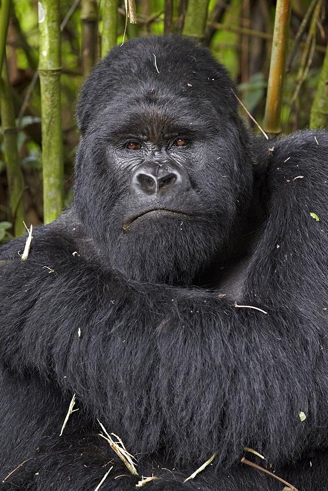 Silverback mountain gorilla (Gorilla gorilla beringei) of the Kwitonda group, Volcanoes National Park, Rwanda, Africa