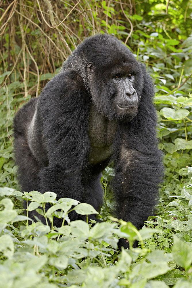 Mountain gorilla (Gorilla gorilla beringei) silverback of the Umubano group named Charles, Volcanoes National Park, Rwanda, Africa