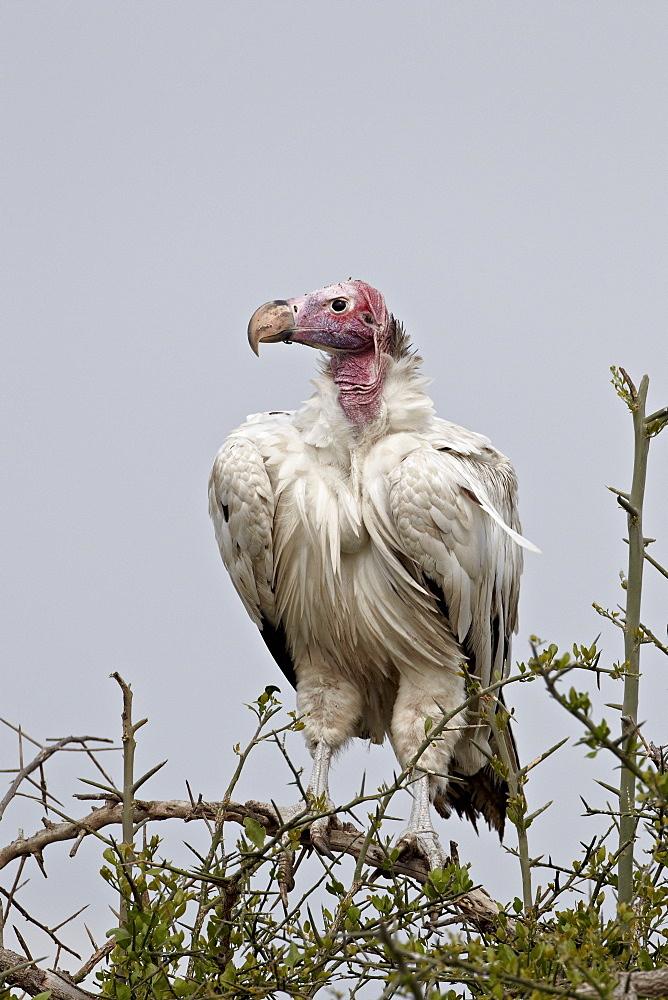 Hypomelanistic lappet-faced vulture (Torgos tracheliotus), Serengeti National Park, Tanzania, East Africa, Africa