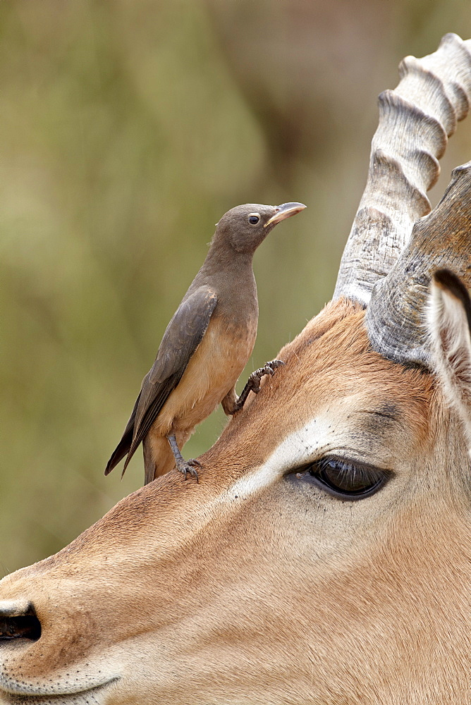 Immature red-billed oxpecker (Buphagus erythrorhynchus) on an impala, Kruger National Park, South Africa, Africa