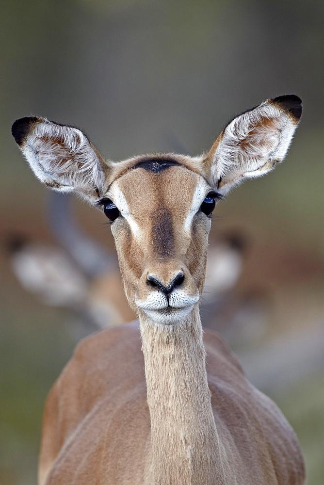 Female impala (Aepyceros melampus), Kruger National Park, South Africa, Africa