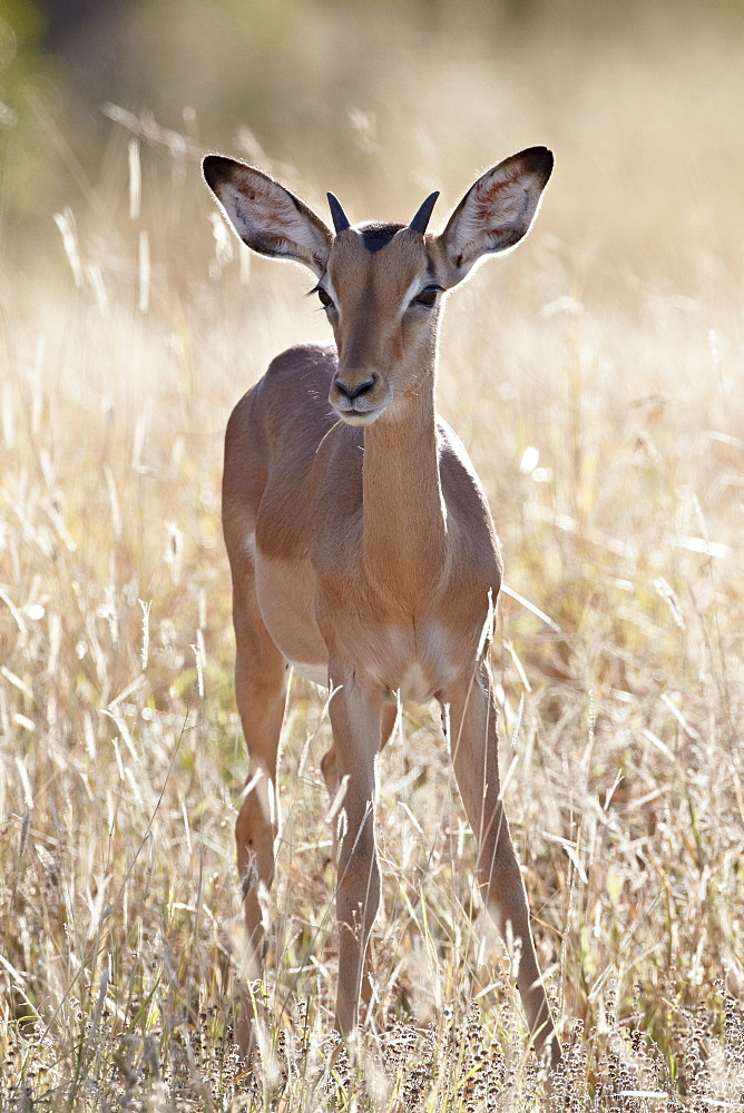 Young impala (Aepyceros melampus) buck, Kruger National Park, South Africa, Africa