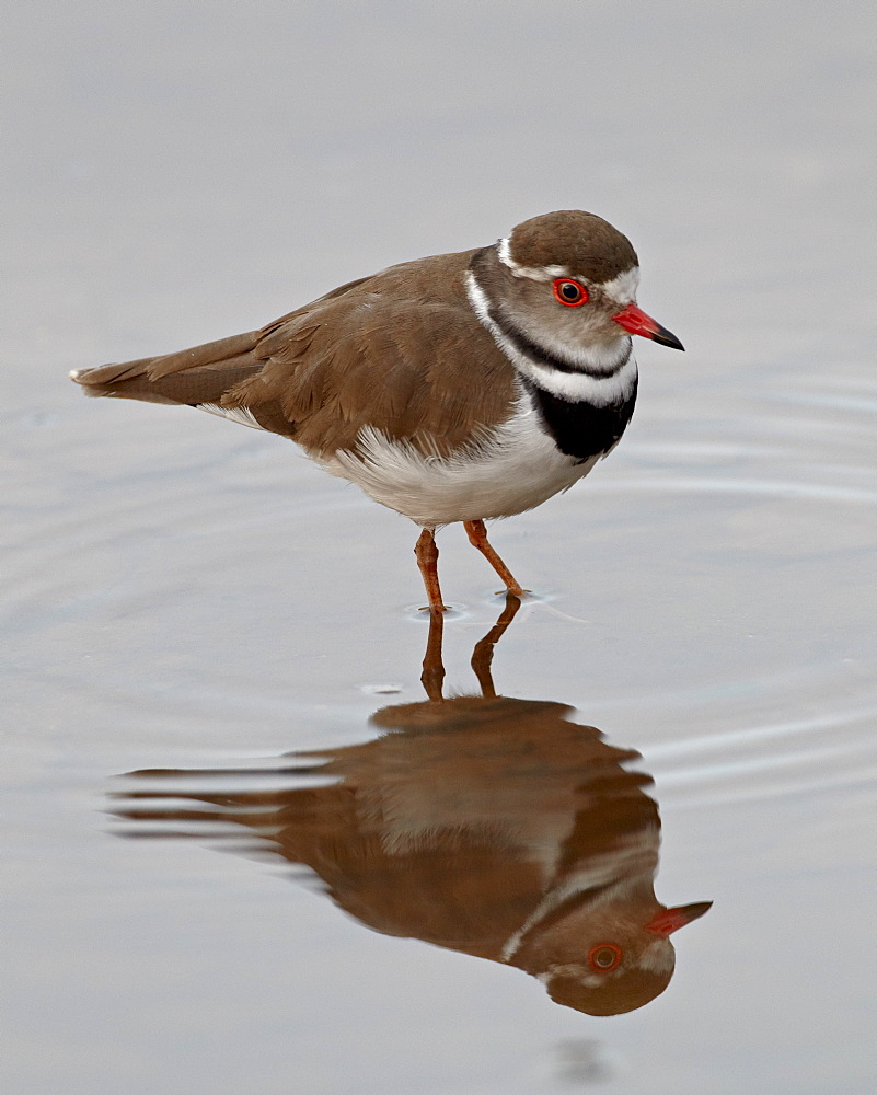 Three-banded plover (Charadrius tricollaris), Kruger National Park, South Africa, Africa