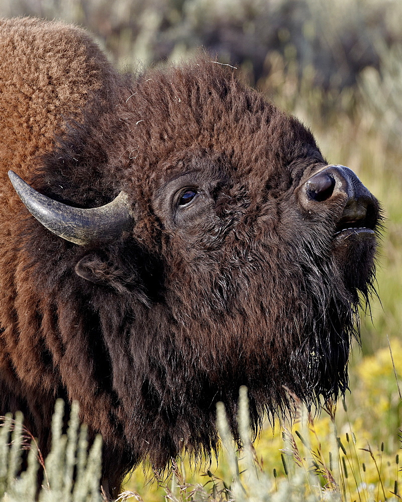 Bison (Bison bison) bull demonstrating the flehmen response, Yellowstone National Park, Wyoming, United States of America, North America