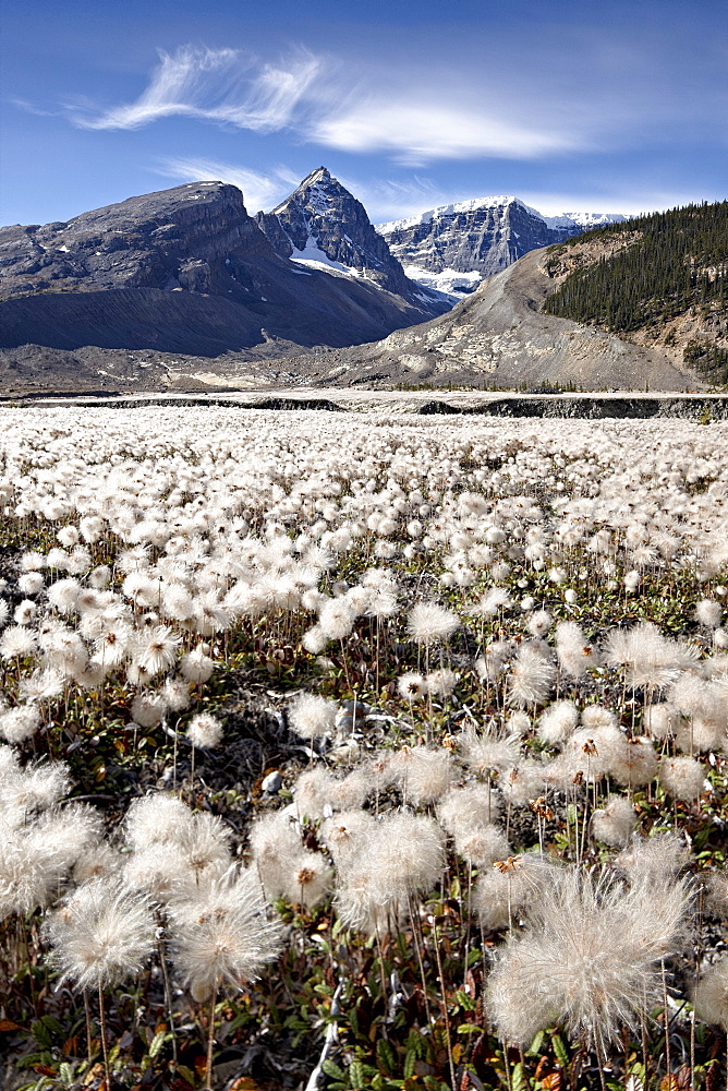 Field of yellow dryad (yellow mountain-avens) (Dryas drummondii) in the seed-pod stage,  Jasper National Park, UNESCO World Heritage Site, Alberta, Rocky Mountains, Canada, North America