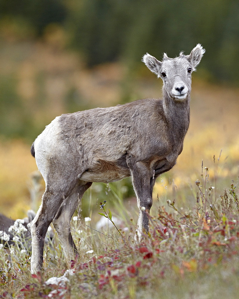 Bighorn sheep (Ovis canadensis) lamb, Peter Lougheed Provincial Park, Kananaskis Country, Alberta, Canada, North America