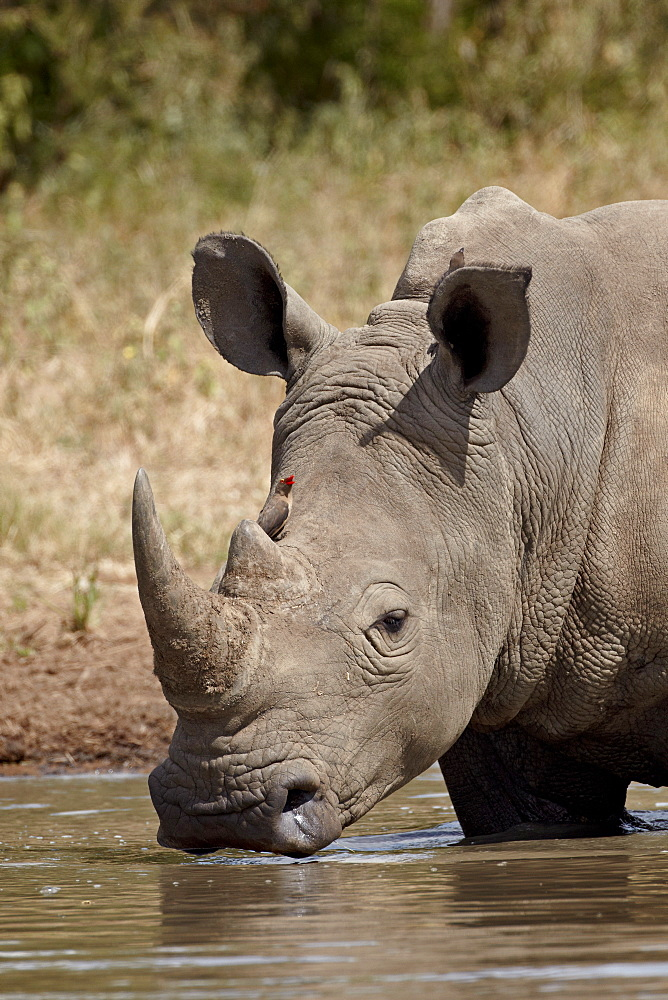White rhinoceros (Ceratotherium simum) with a red-billed oxpecker (Buphagus erythrorhynchus), Kruger National Park, South Africa, Africa
