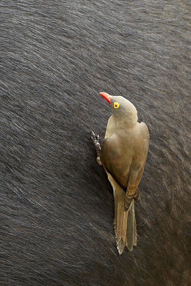 Red-billed oxpecker (Buphagus erythrorhynchus) on a Cape buffalo, Kruger National Park, South Africa, Africa