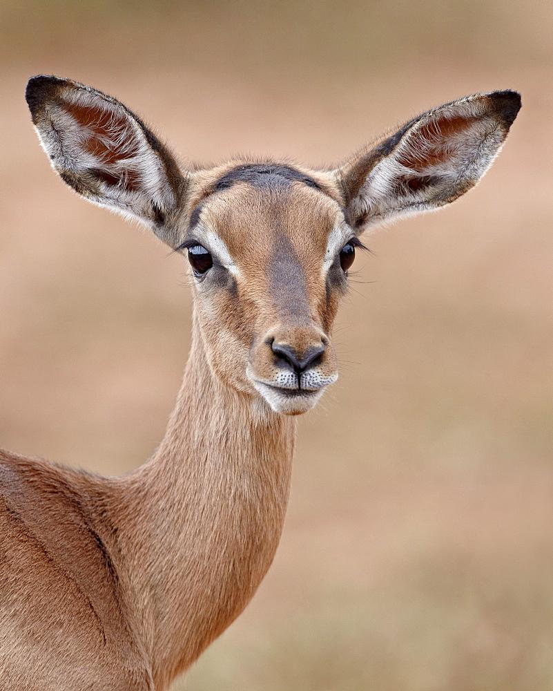 Young impala (Aepyceros melampus), Imfolozi Game Reserve, South Africa, Africa