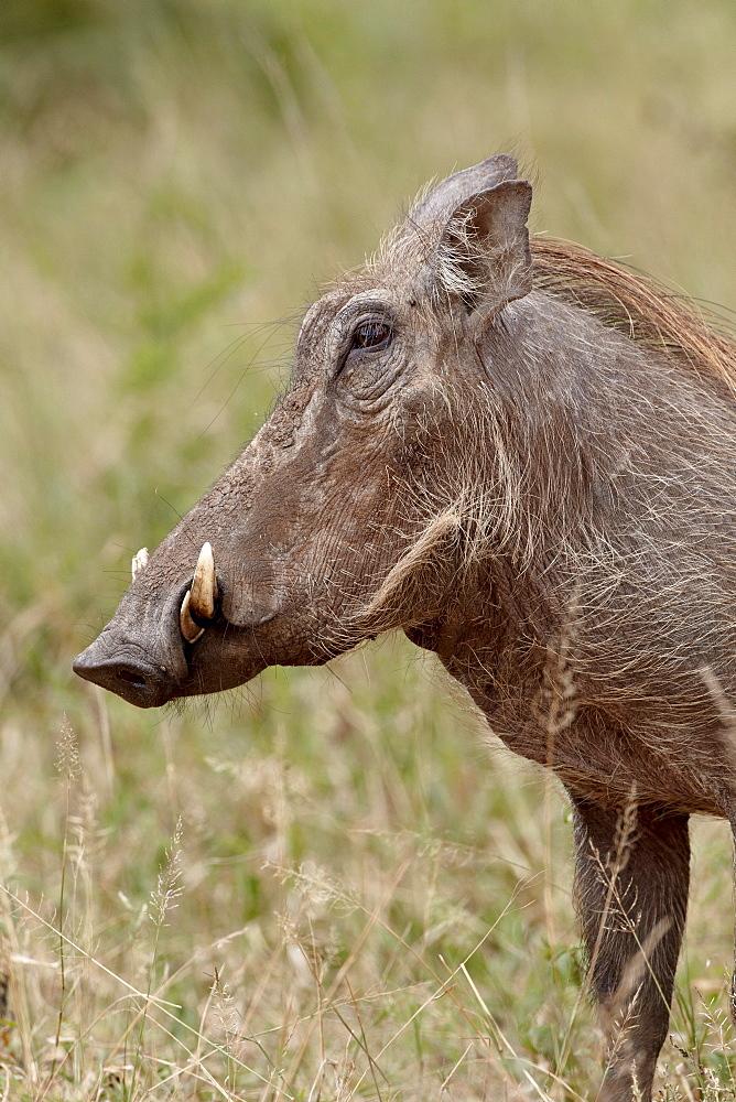 Warthog (Phacochoerus aethiopicus), Imfolozi Game Reserve, South Africa, Africa