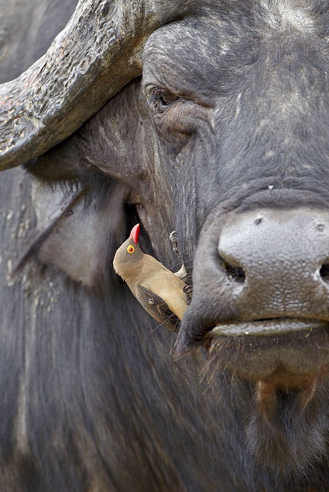 Red-billed oxpecker (Buphagus erythrorhynchus) on a Cape buffalo (African buffalo) (Syncerus caffer), Kruger National Park, South Africa, Africa