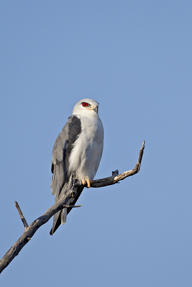 Black-shouldered kite (Elanus caeruleus), Kgalagadi Transfrontier Park, encompassing the former Kalahari Gemsbok National Park, South Africa, Africa