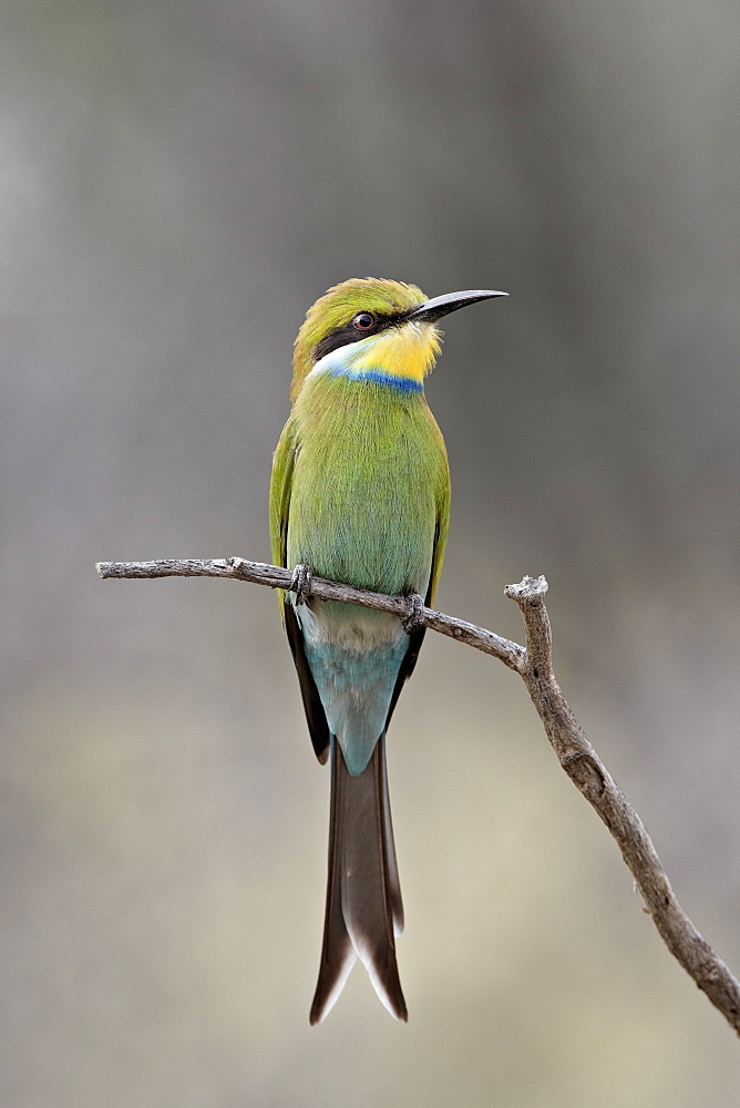 Swallow-tailed bee-eater (Merops hirundineus), Kgalagadi Transfrontier Park, encompassing the former Kalahari Gemsbok National Park, South Africa, Africa