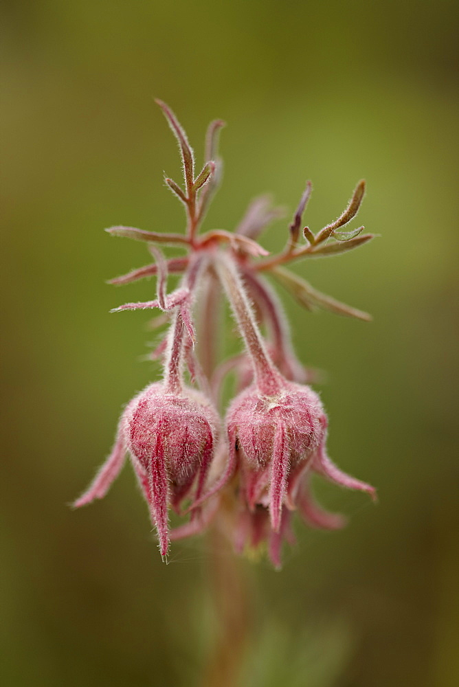 Prairie smoke (purple aven) (old man's whiskers) (long-plumed avens) (Geum triflorum), Yellowstone National Park, Wyoming, United States of America, North America