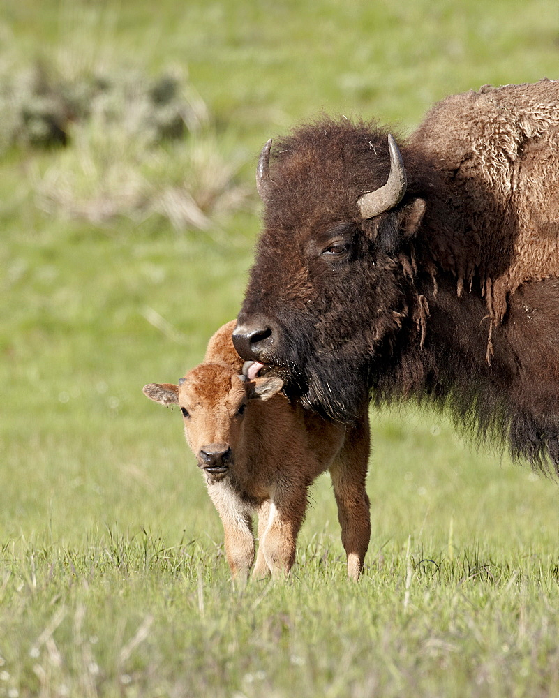Bison (Bison bison) cow cleaning her calf, Yellowstone National Park, Wyoming, United States of America, North America