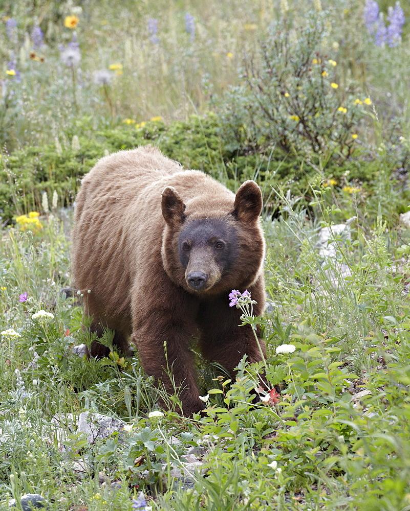 Cinnamon black bear (Ursus americanus) cub, Waterton Lakes National Park, Alberta, Canada, North America