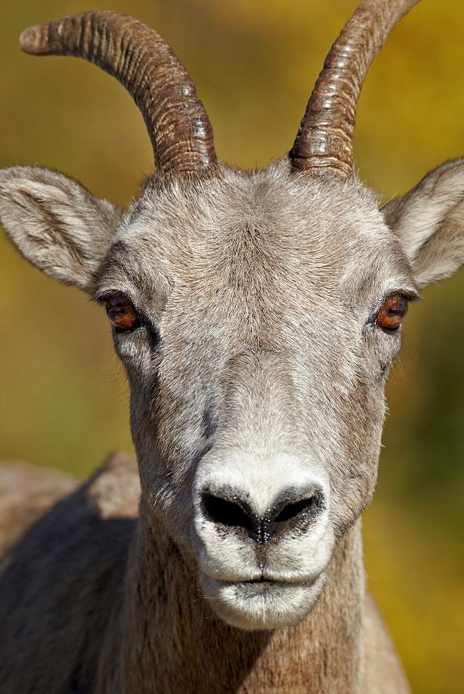 Bighorn sheep (Ovis canadensis) ewe, Peter Lougheed Provincial Park, Kananaskis Country, Alberta, Canada, North America