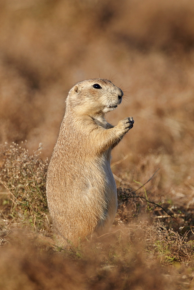 Blacktail prairie dog (Cynomys ludovicianus), Theodore Roosevelt National Park, North Dakota, United States of America, North America
