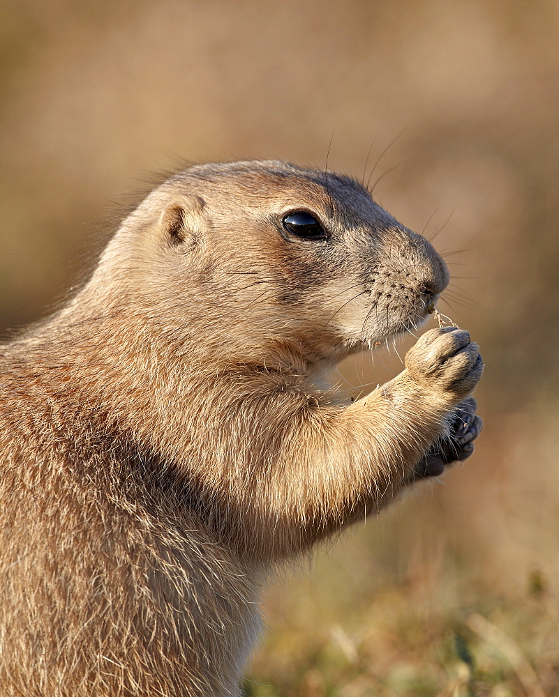 Blacktail prairie dog (Cynomys ludovicianus) feeding, Theodore Roosevelt National Park, North Dakota, United States of America, North America
