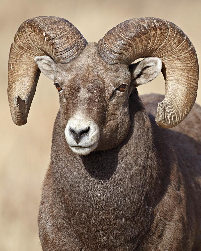 Bighorn sheep (Ovis canadensis) ram, Clear Creek County, Colorado, United States of America, North America