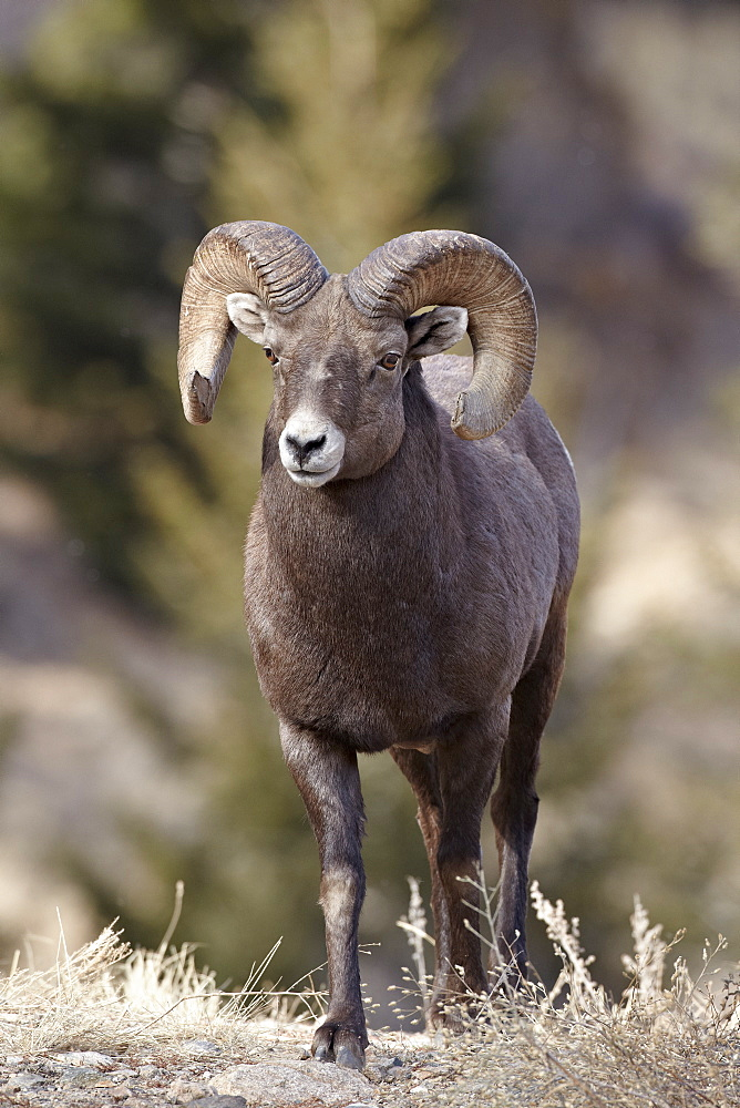 Bighorn sheep (Ovis canadensis) ram durng the rut, Clear Creek County, Colorado, United States of America, North America