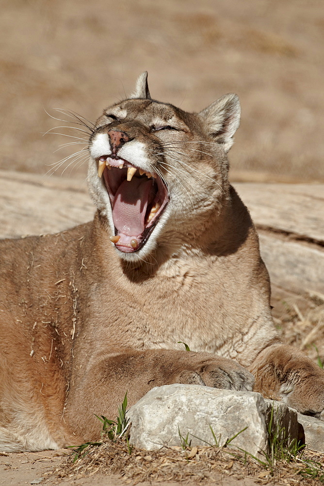 Mountain lion (cougar) (puma) (Puma concolor) yawning, Living Desert Zoo And Gardens State Park, New Mexico, United States of America, North America