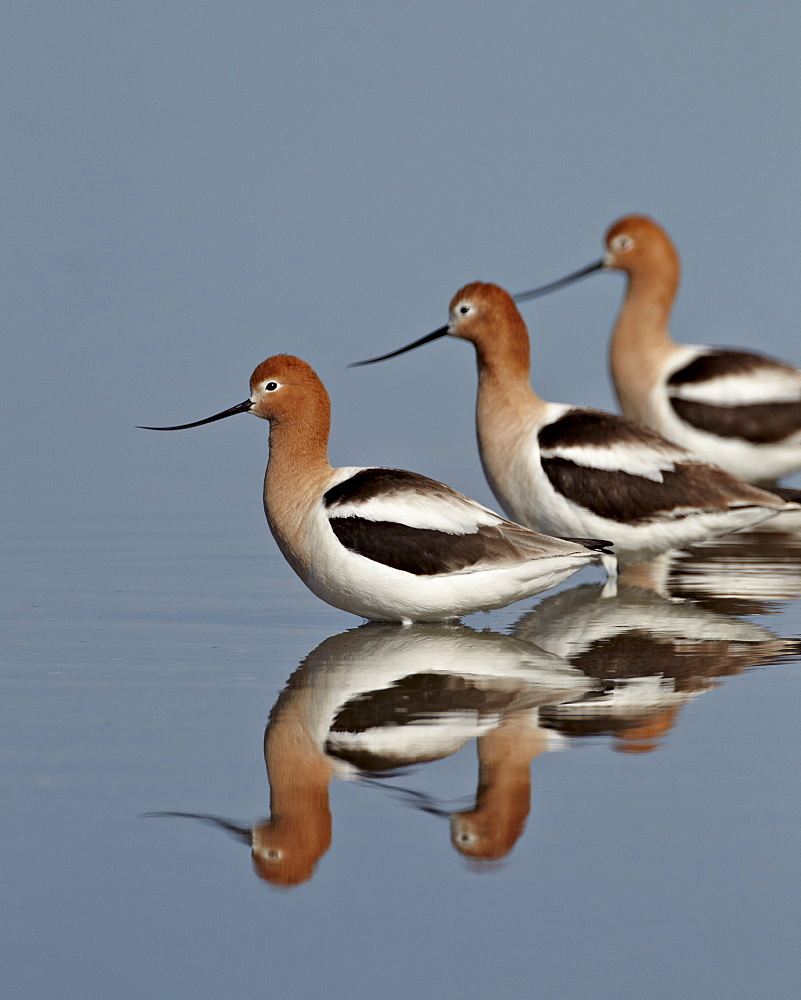 Three American avocet (Recurvirostra americana), Yellowstone National Park, Wyoming, United States of America, North America - 764-3592