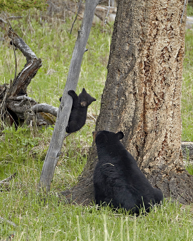 Black bear (Ursus americanus) sow and cub-of-the-year coming down from a tree, Yellowstone National Park, Wyoming, United States of America, North America