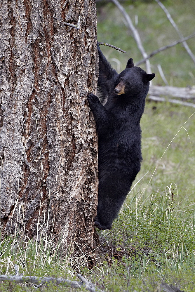Black bear (Ursus americanus) coming down from a tree, Yellowstone National Park, Wyoming, United States of America, North America