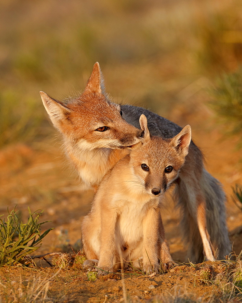 Swift fox (Vulpes velox) vixen grooming a kit, Pawnee National Grassland, Colorado, United States of America, North America