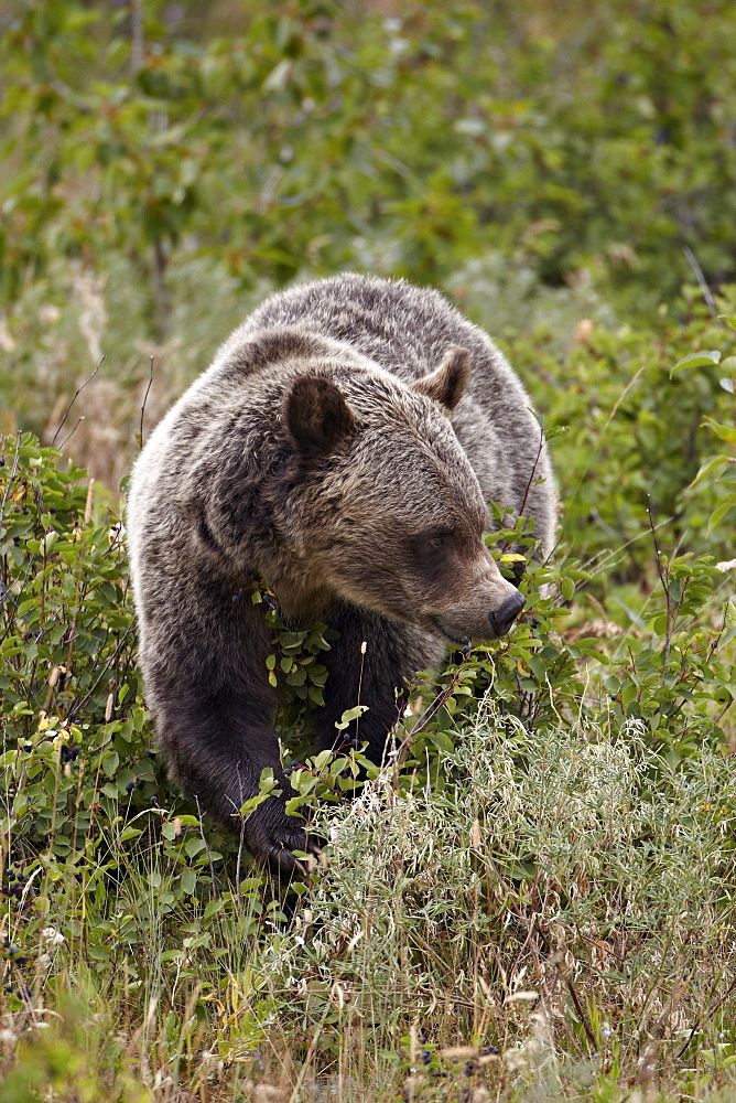 Grizzly bear (Ursus arctos horribilis) eating berries, Glacier National Park, Montana, United States of America, North America