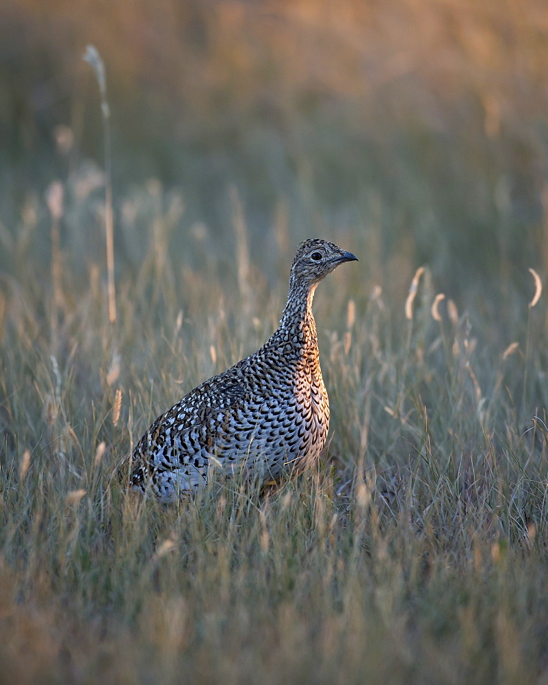 Sharp-tailed grouse (Tympanuchus phasianellus, previously Tetrao phasianellus), Custer State Park, South Dakota, United States of America, North America