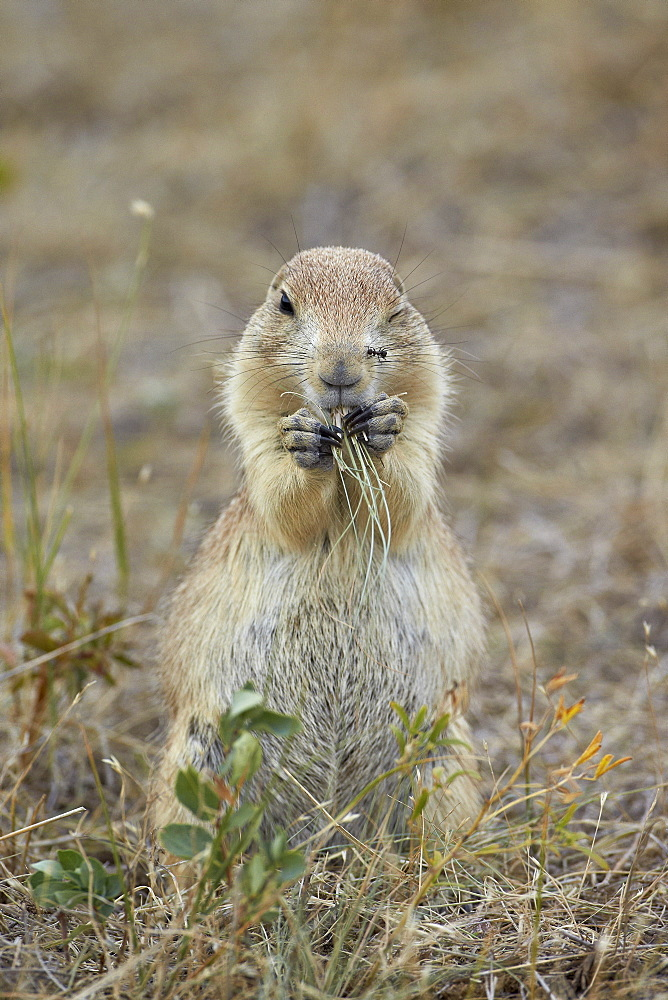 Black-tailed prairie dog (blacktail prairie dog) (Cynomys ludovicianus) eating, Custer State Park, South Dakota, United States of America, North America