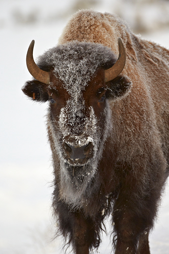 Bison (Bison bison) cow in the winter, Yellowstone National Park, Wyoming, United States of America, North America