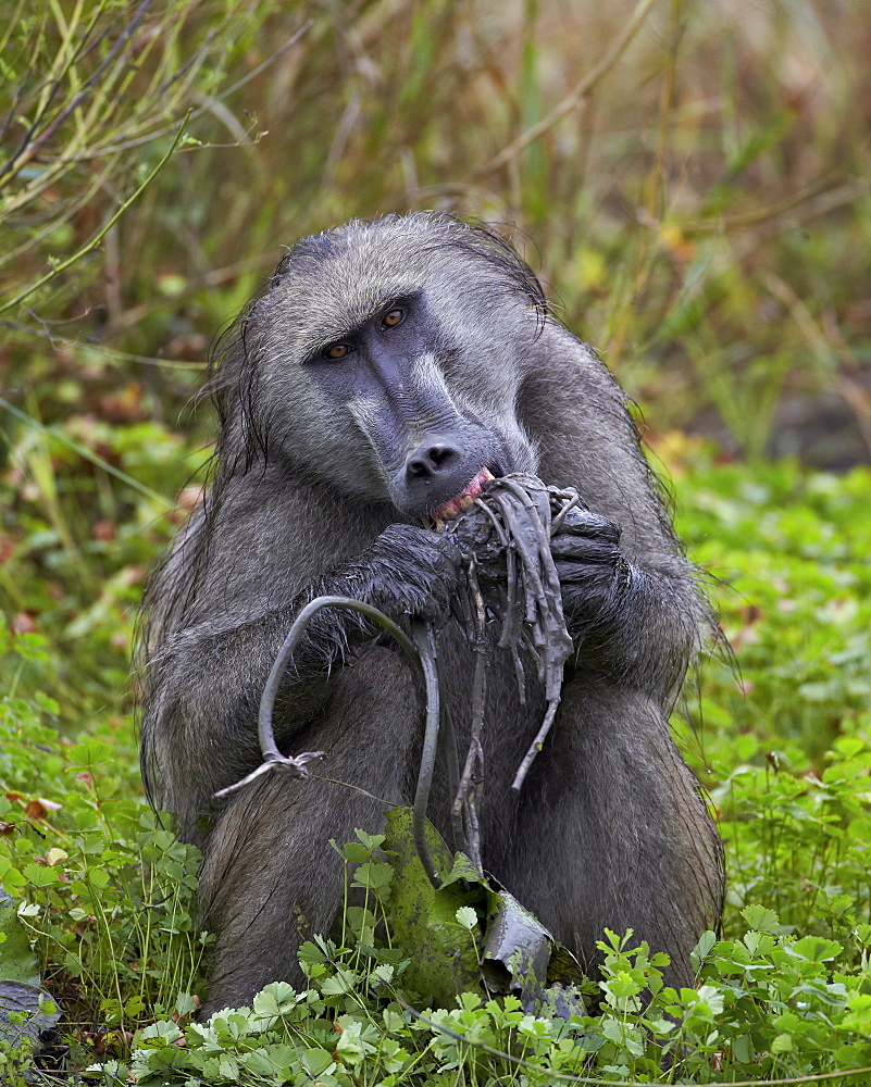 Adult male Chacma baboon (Papio ursinus) eating a water lily tuber, Kruger National Park, South Africa, Africa