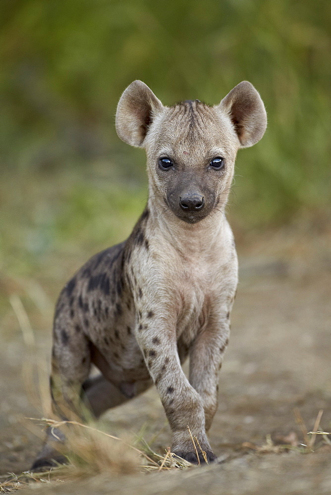 Spotted hyena (spotted hyaena) (Crocuta crocuta) cub, Kruger National Park, South Africa, Africa