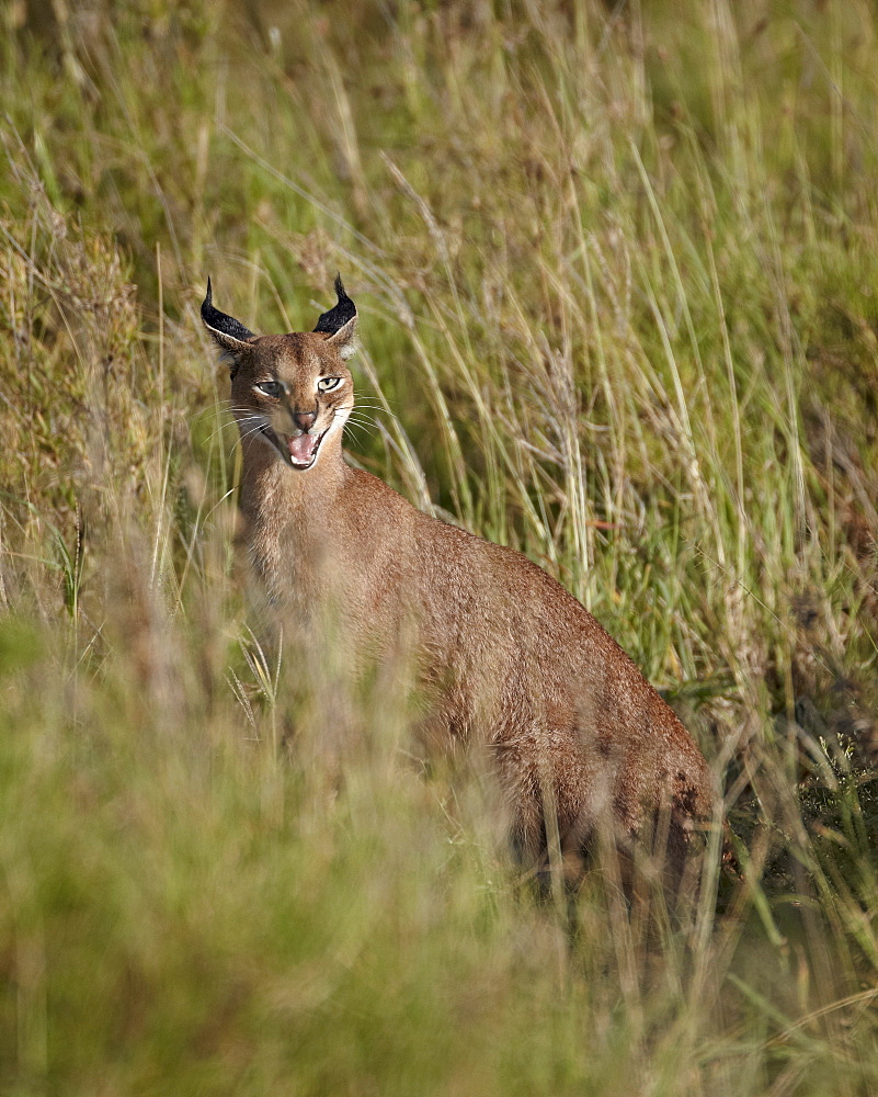 Caracal (Caracal caracal) calling her cub, Serengeti National Park, Tanzania, East Africa, Africa