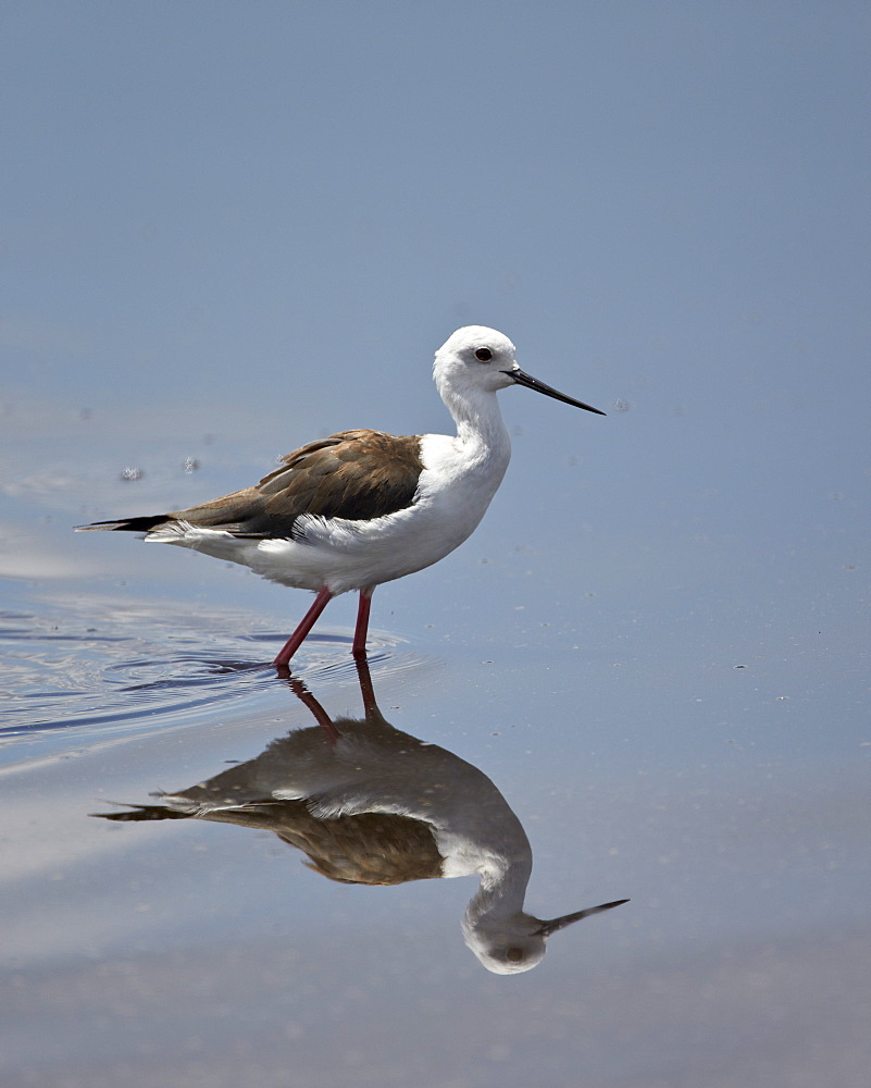 Black-winged stilt (Himantopus himantopus), Serengeti National Park, Tanzania, East Africa, Africa