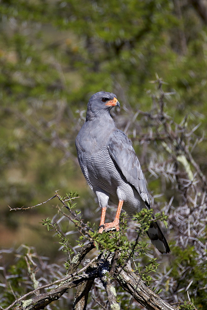 Southern pale chanting goshawk (Melierax canorus), Mountain Zebra National Park, South Africa, Africa