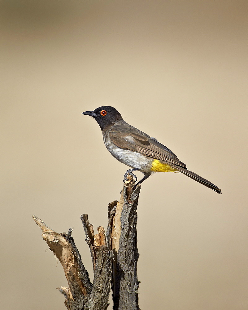 African red-eyed bulbul (black-fronted bulbul) (Pycnonotus nigricans), Kgalagadi Transfrontier Park, encompassing the former Kalahari Gemsbok National Park, South Africa, Africa
