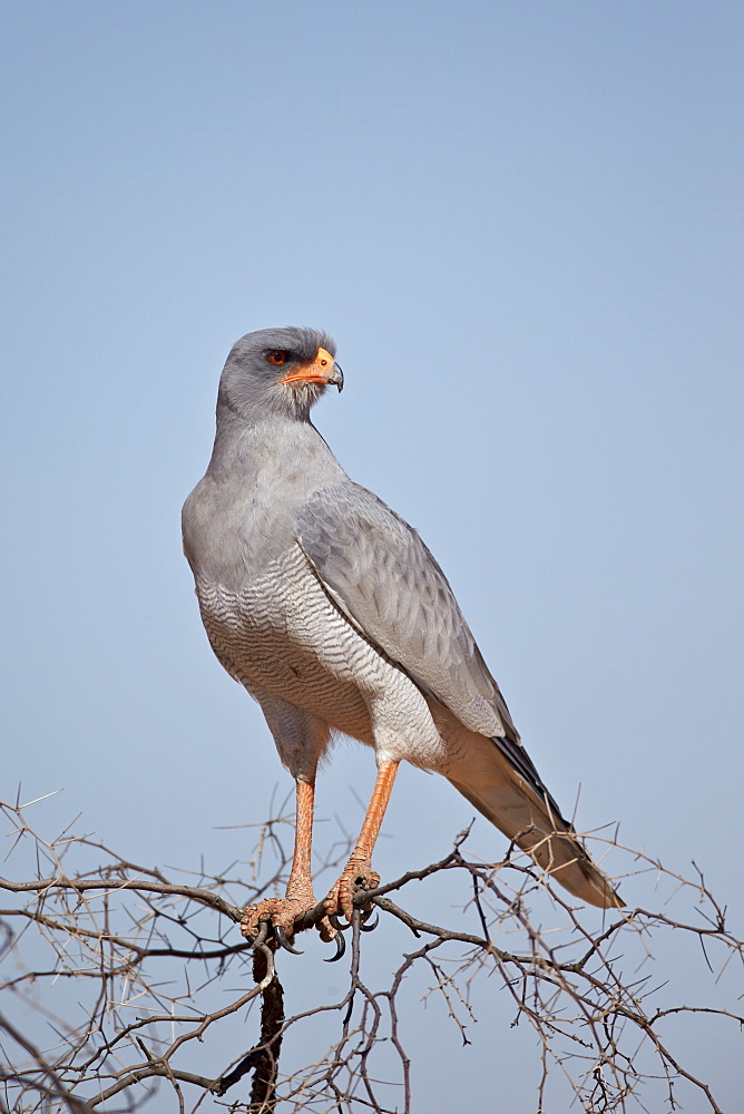 Southern pale chanting goshawk (Melierax canorus), Kgalagadi Transfrontier Park, encompassing the former Kalahari Gemsbok National Park, South Africa, Africa