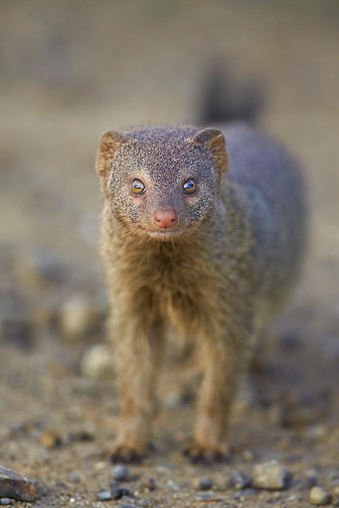 Slender mongoose (Galerella sanguinea), Imfolozi Game Reserve, South Africa, Africa