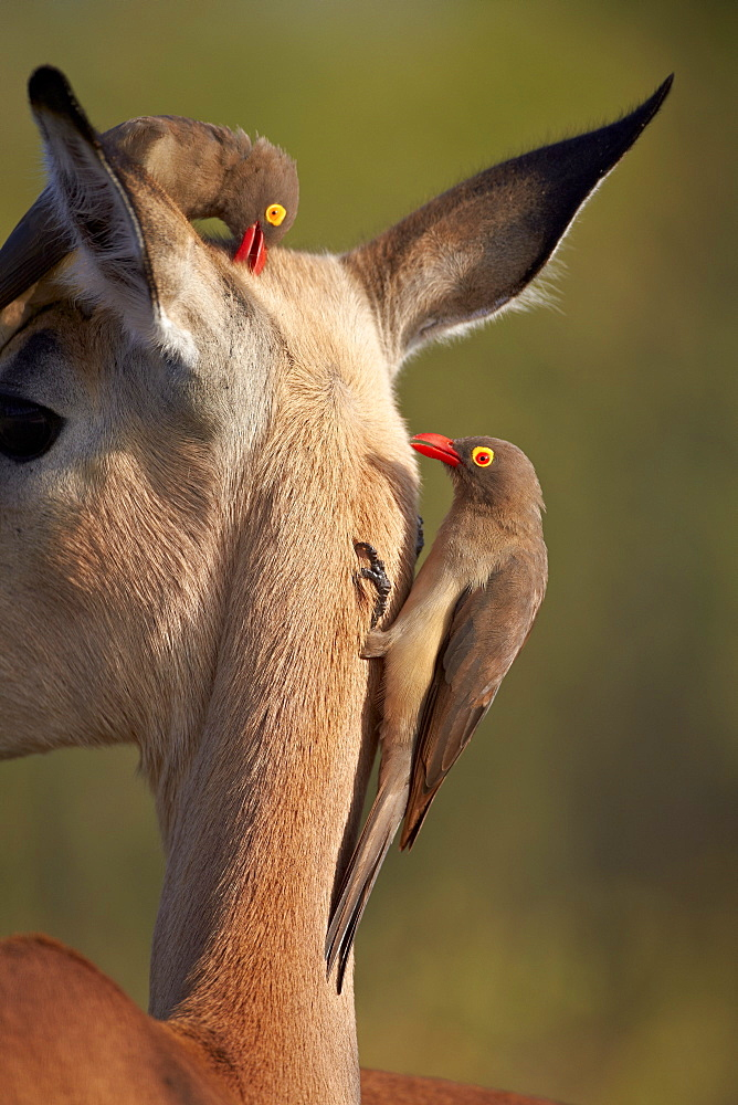 Two red-billed oxpecker (Buphagus erythrorhynchus) on an impala, Kruger National Park, South Africa, Africa