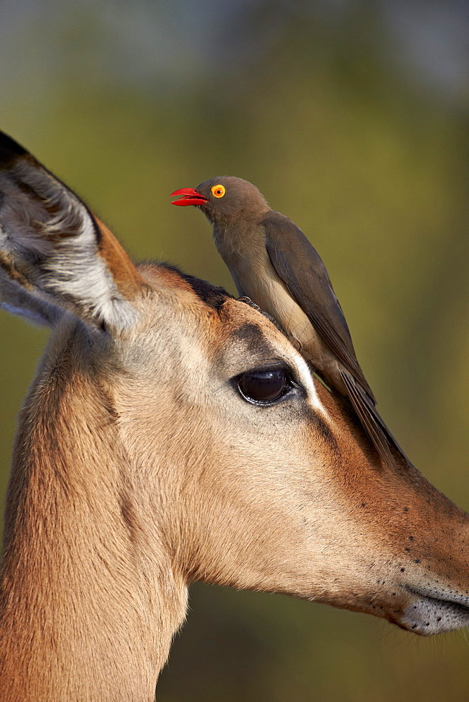 Red-Billed Oxpecker (Buphagus erythrorhynchus) on an Impala, Kruger National Park, South Africa