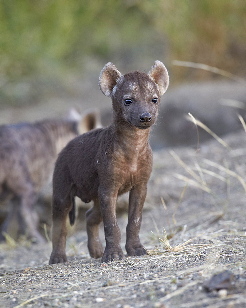 Spotted Hyena (Spotted Hyaena) (Crocuta crocuta) pup, Kruger National Park, South Africa, Africa