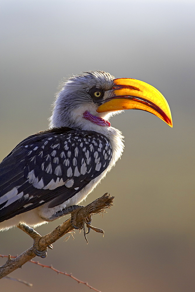 Male Eastern yellow-billed hornbill (Tockus flavirostris), Samburu National Reserve, Kenya, East Africa, Africa - 764-449