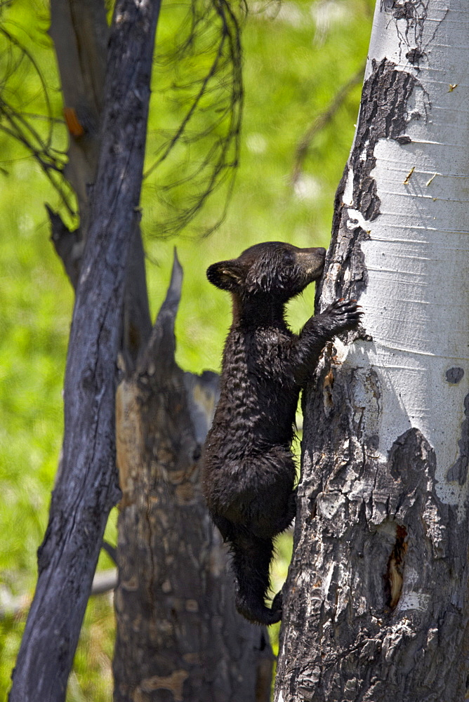 Black Bear (Ursus americanus) cub of the year climbing a tree, Yellowstone National Park, Wyoming, United States of America, North America