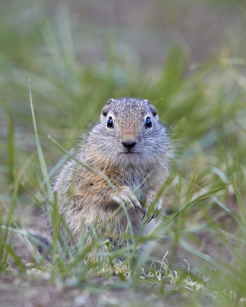 Young Uinta Ground Squirrel (Urocitellus armatus), Yellowstone National Park, Wyoming, United States of America, North America